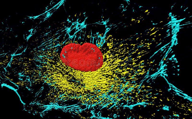 Fibroblastcell royaltyfria bilder