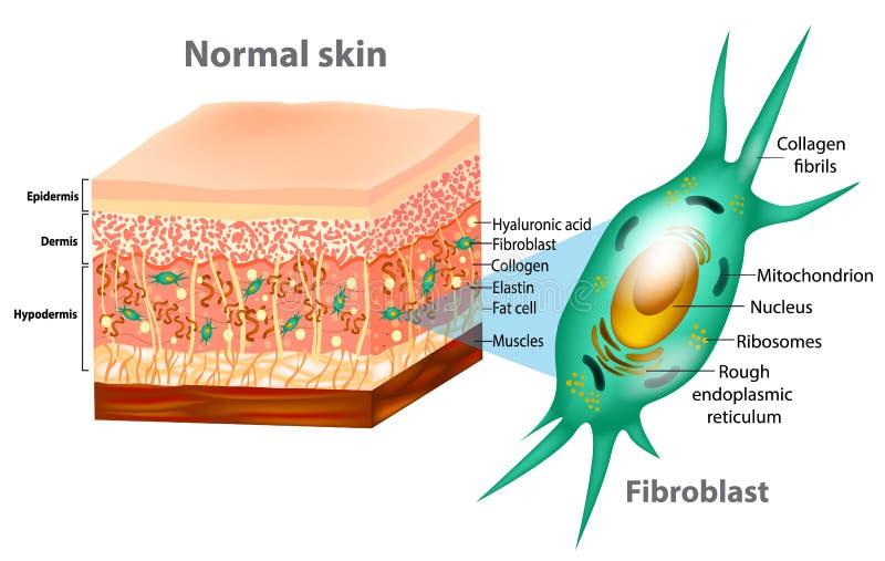 Fibroblasto e estrutura humana da pele ilustração do vetor
