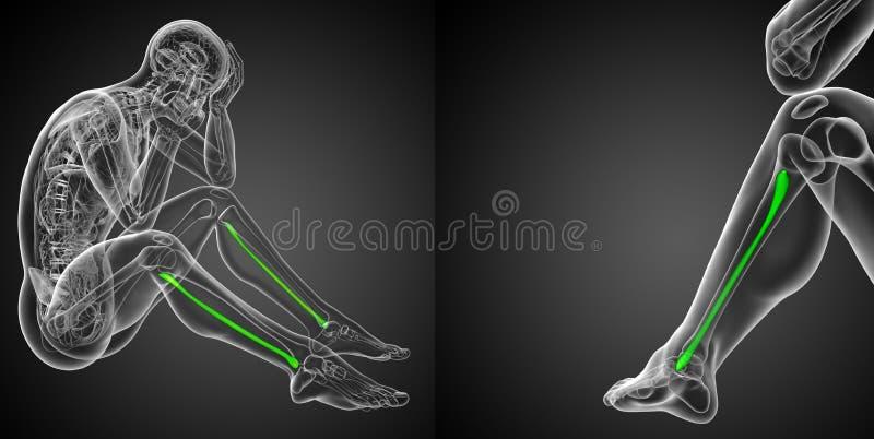 fibula bone stock photo