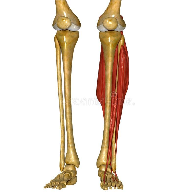 Fibula- och tibiamuskler stock illustrationer
