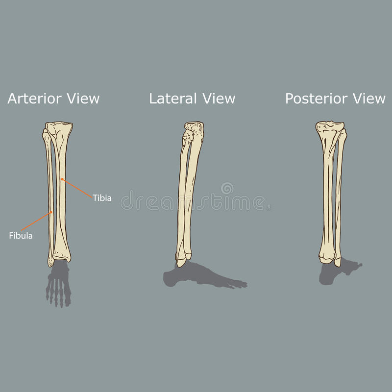 Fibula and Tibia Anatomy stock vector. Illustration of joint - 89668081