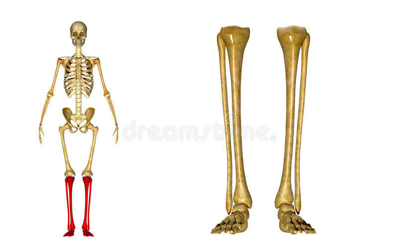 Fibula And Tibia, Ankle And Foot Stock Photo - Image of function ...
