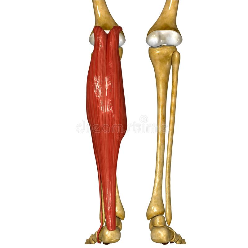 Fibula and Tibia Muscles stock illustration. Illustration of muscle ...