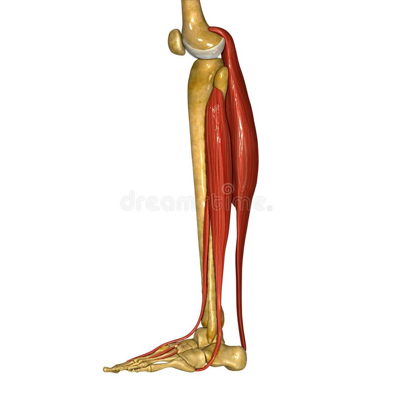 Fibula and Tibia Muscles stock illustration. Illustration of body ...