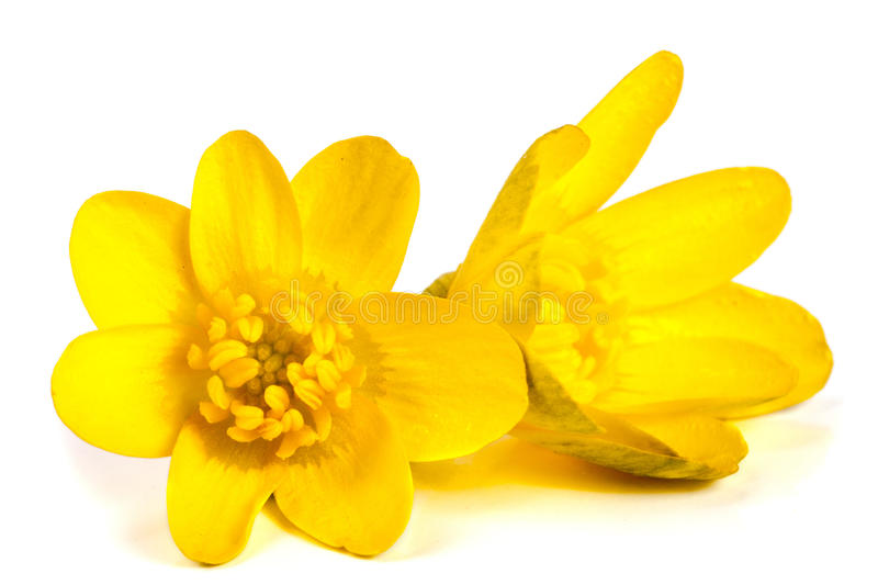 Ficaria verna yellow spring flowers isolated on white background royalty free stock image
