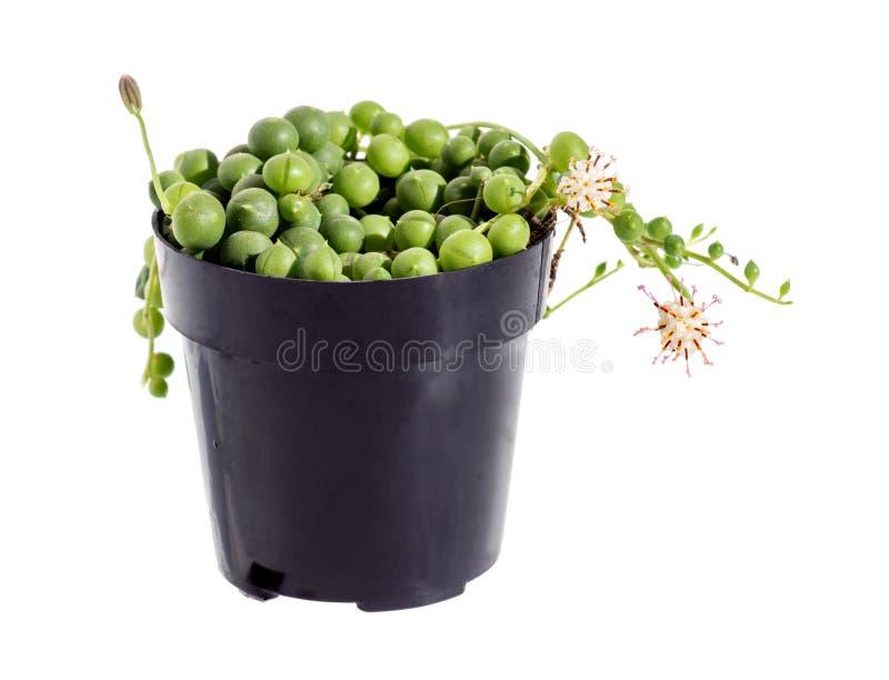Ficelle succulente fleurissante des perles (rowleyanus de Senecio) isola image stock