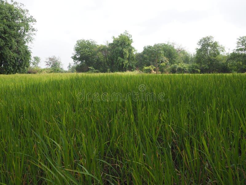 Fichero verde del arroz antes de la cosecha en verano foto de archivo