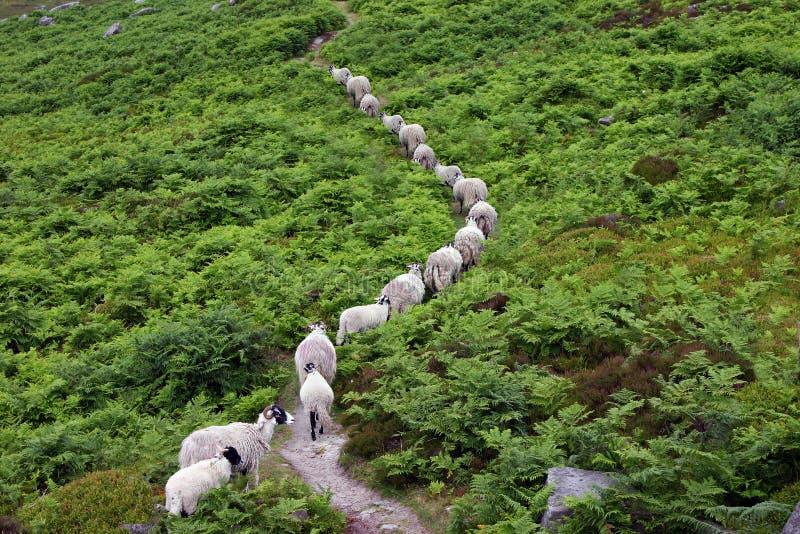 Fichier simple de marche de moutons photo stock