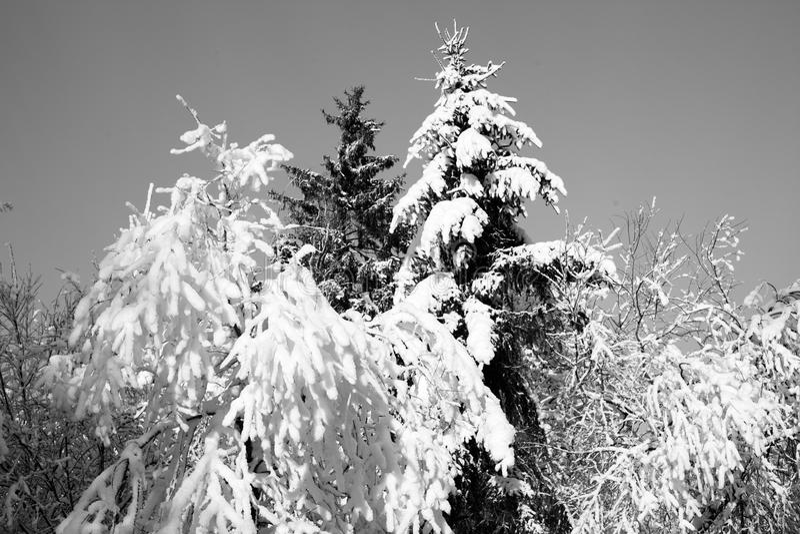 Fichte im Schnee stockfotos