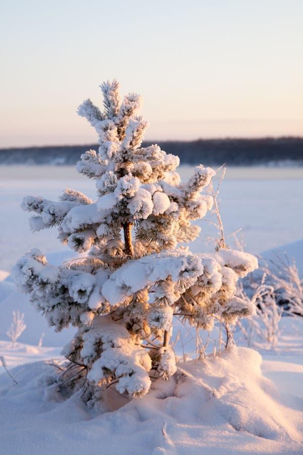 Fichte im Schnee stockfotografie