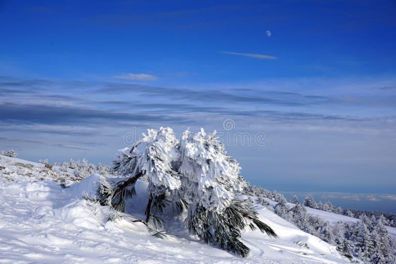 Fichte verbogen unter das Gewicht des Schnees lizenzfreie stockfotografie
