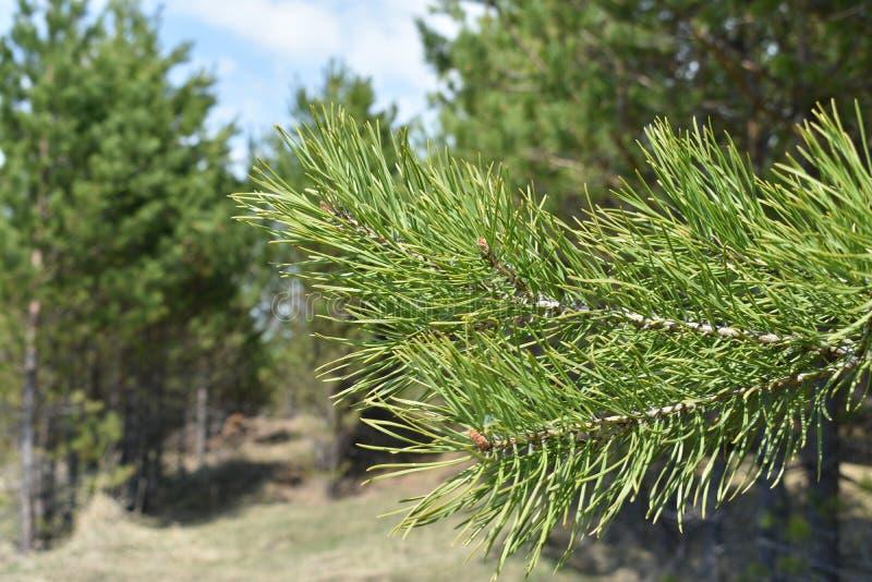 Fichtenzweig auf einem Hintergrund von grünen Bäumen lizenzfreie stockfotos