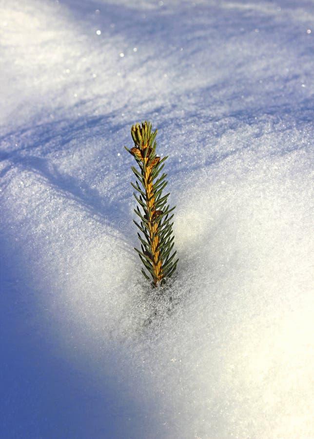 Fichtenzweige, die von unterhalb des Schnees lugen lizenzfreie stockfotos