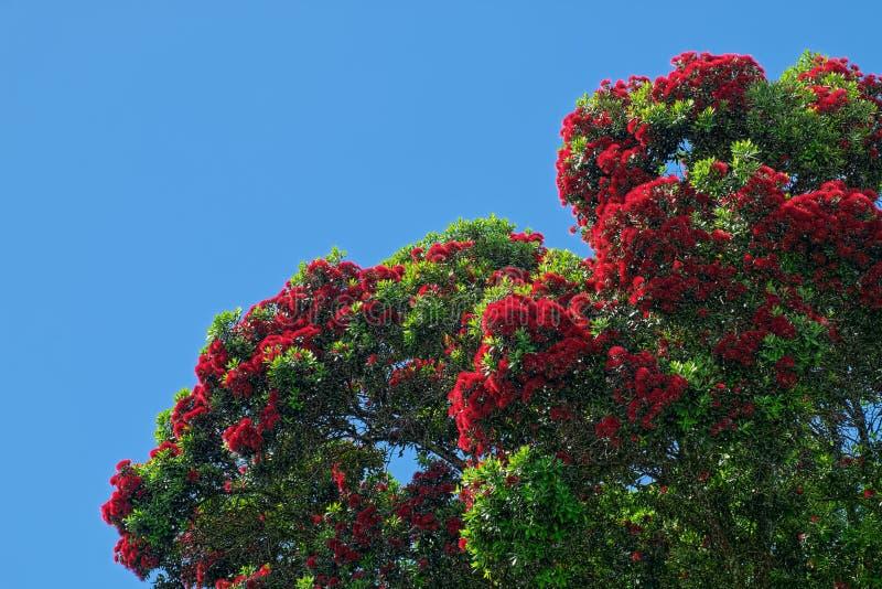 Ficifolia de Corymbia, ficifolia do eucalipto, árvore de goma de florescência vermelha fotografia de stock