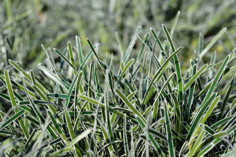 Ficinia Ice Crystal grass stock photos