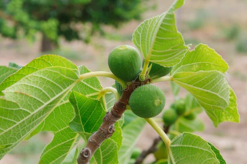 Fico con anche i fichi verdi per la raccolta nel frutteto fotografia stock libera da diritti