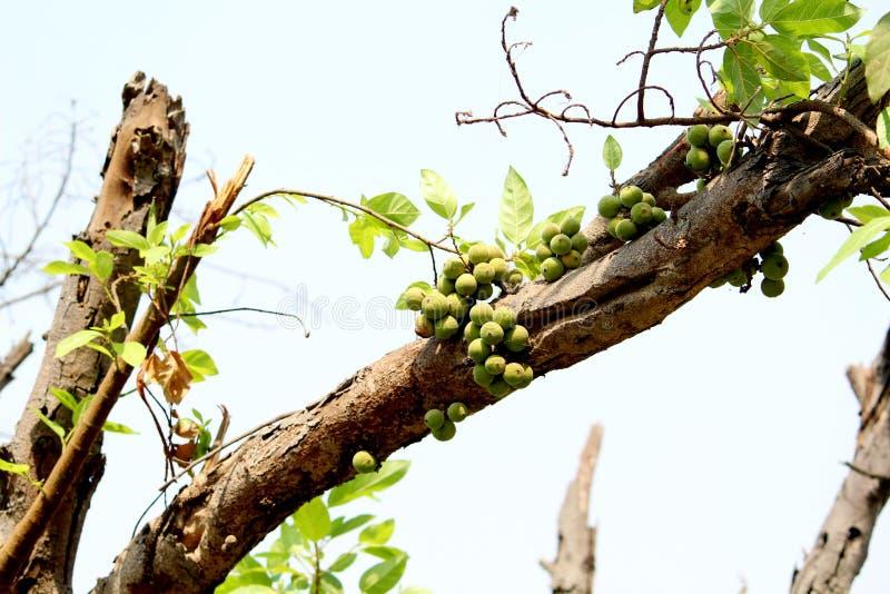 Fico del mazzo - la pianta legnosa di Gular frutta immagine stock