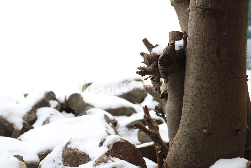 Fico e pietre coperti di neve fotografia stock