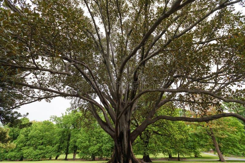 Fico enorme ai giardini di Fitzroy, Melbourne immagini stock libere da diritti