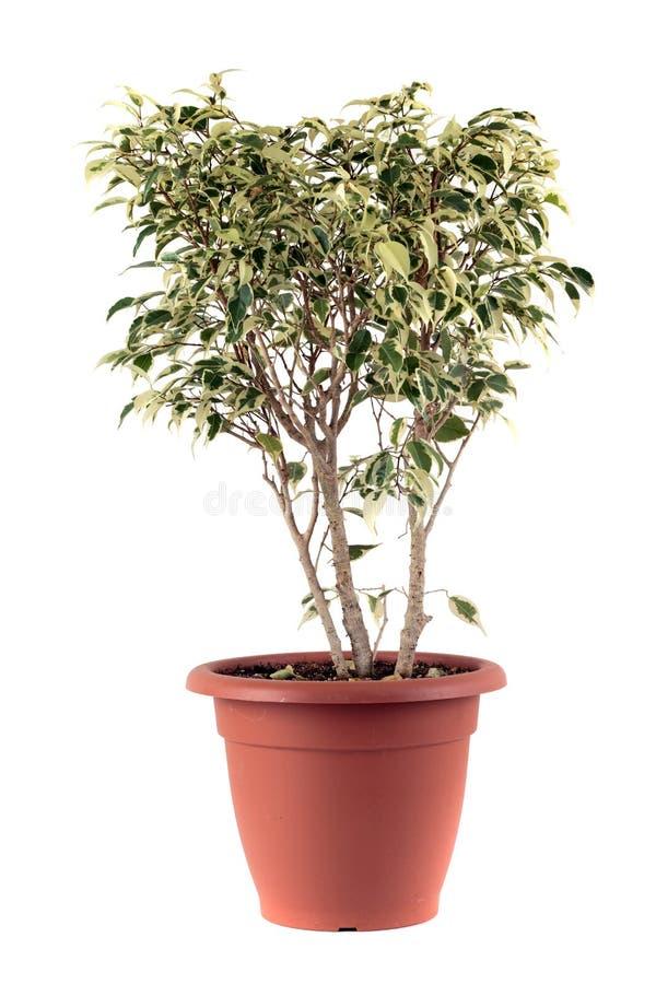 Ficus Бенжамина Стоковые Фотографии RF