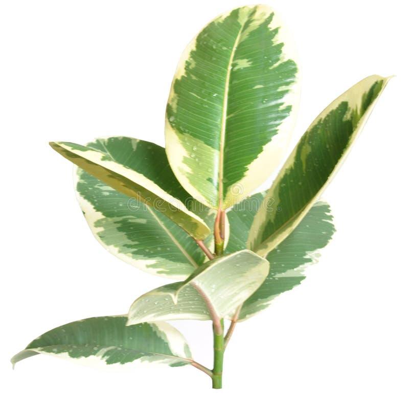 Download Ficus stock photo. Image of tree, houseplant, greenhouse - 13513292