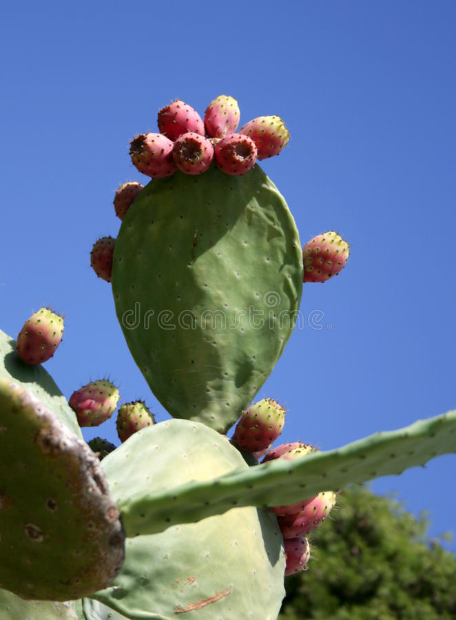 Ficus fotografia de stock royalty free