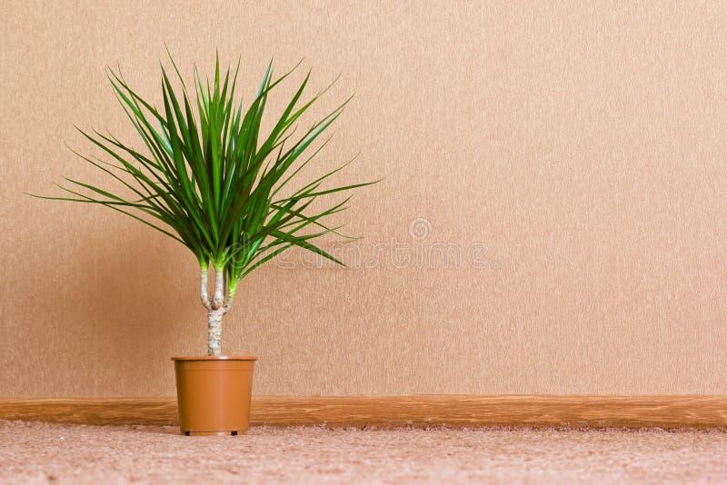 Ficus стоковые фотографии rf
