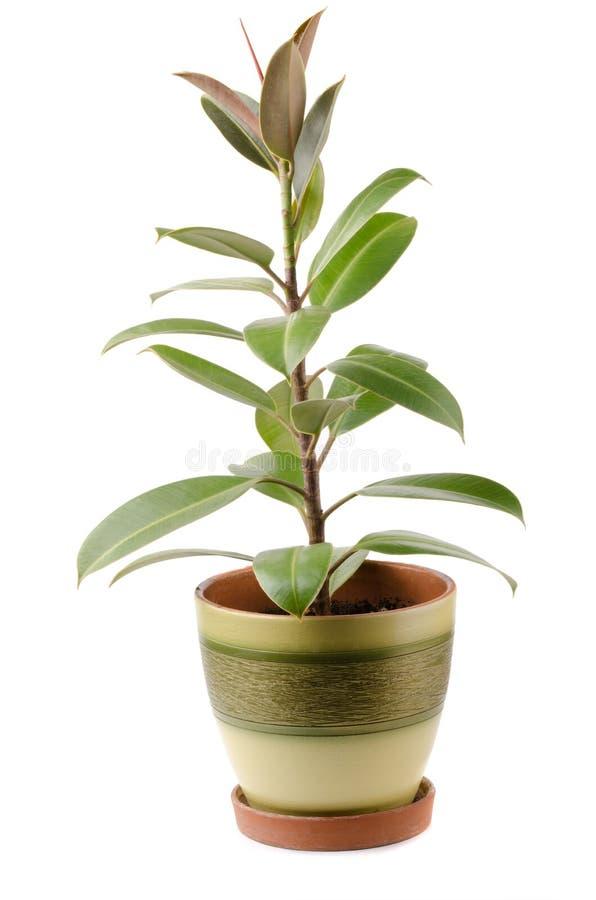 Ficus foto de stock