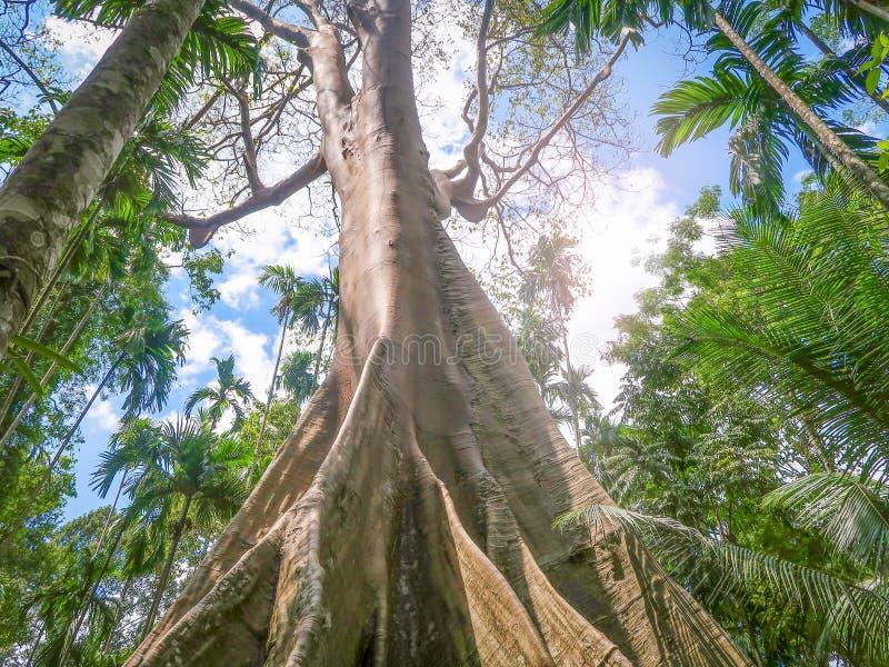 Ficus albipila, giant tree at Uthaithani, Thailand stock photos
