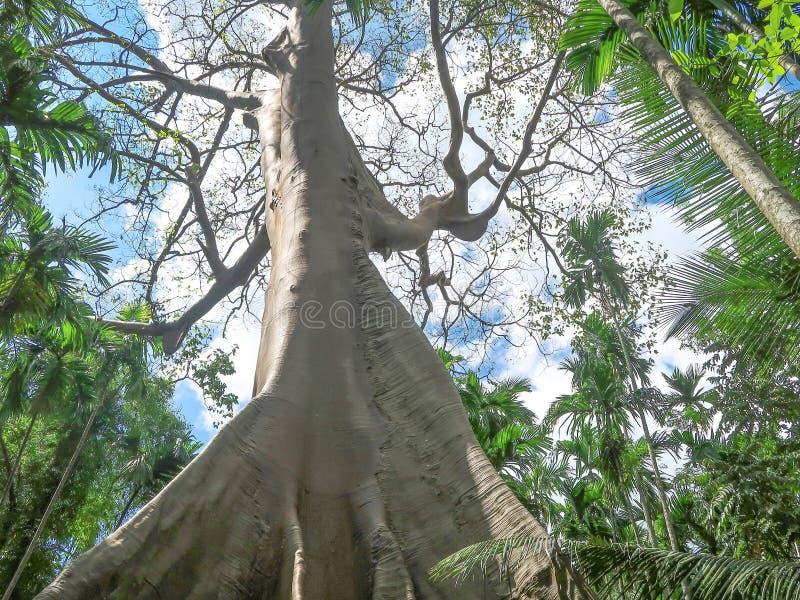 Ficus albipila, olbrzymie drzewo w Uthaithani, Tajlandia obrazy stock