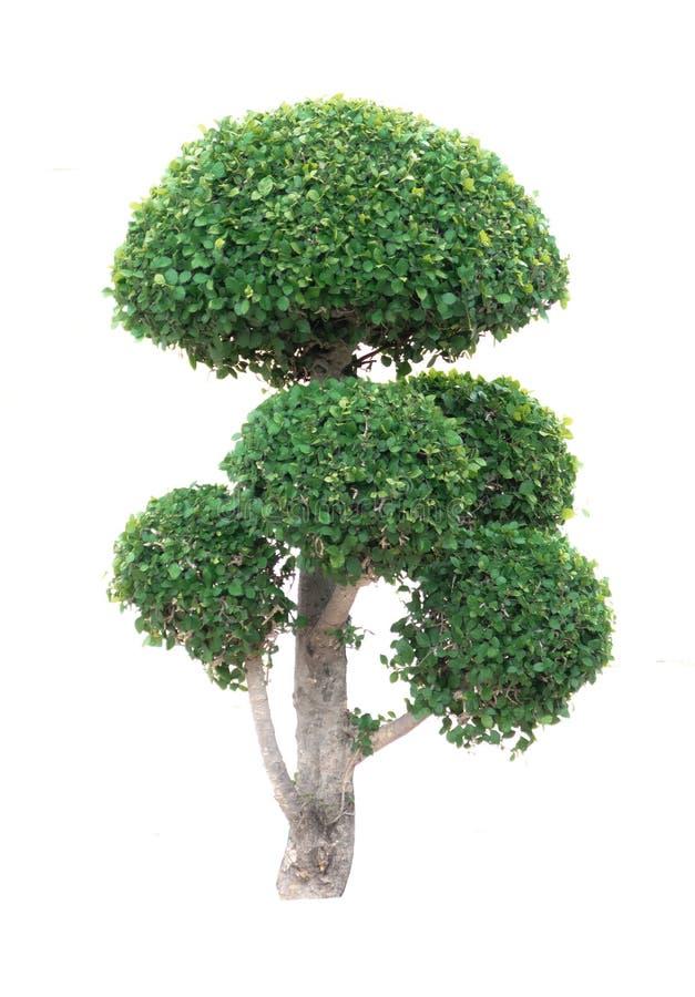 Ficus annulata Blume drzewo w betonowym roślina garnku odizolowywającym na białym tle z ścinek ścieżki Płaczącą figą, Ficus benja zdjęcia stock