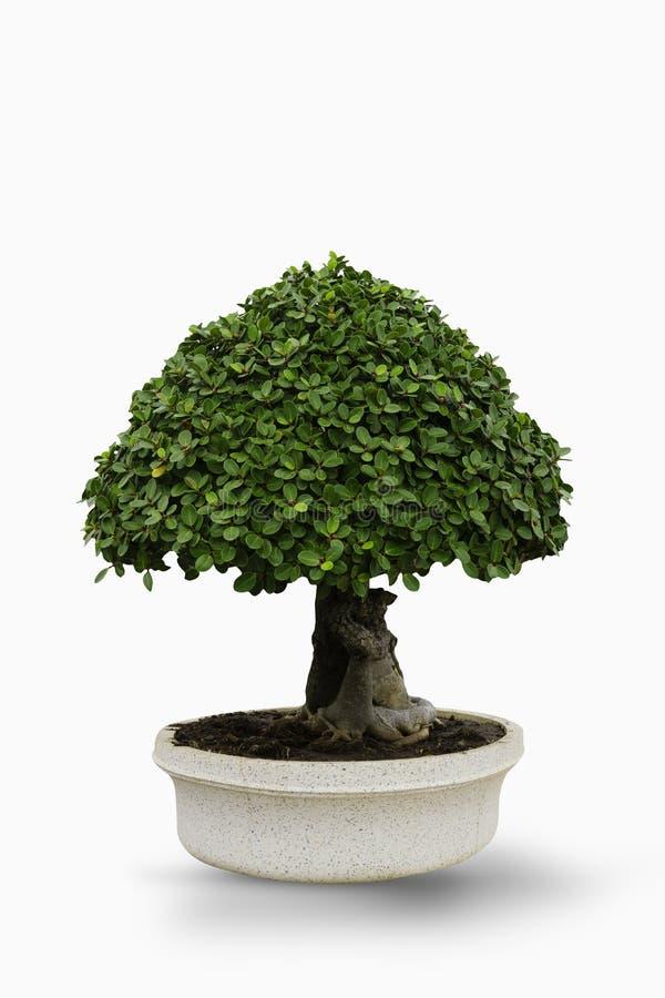 Ficus annulata drzewo lub Topiary drzewa w garnku na białym tle obrazy royalty free