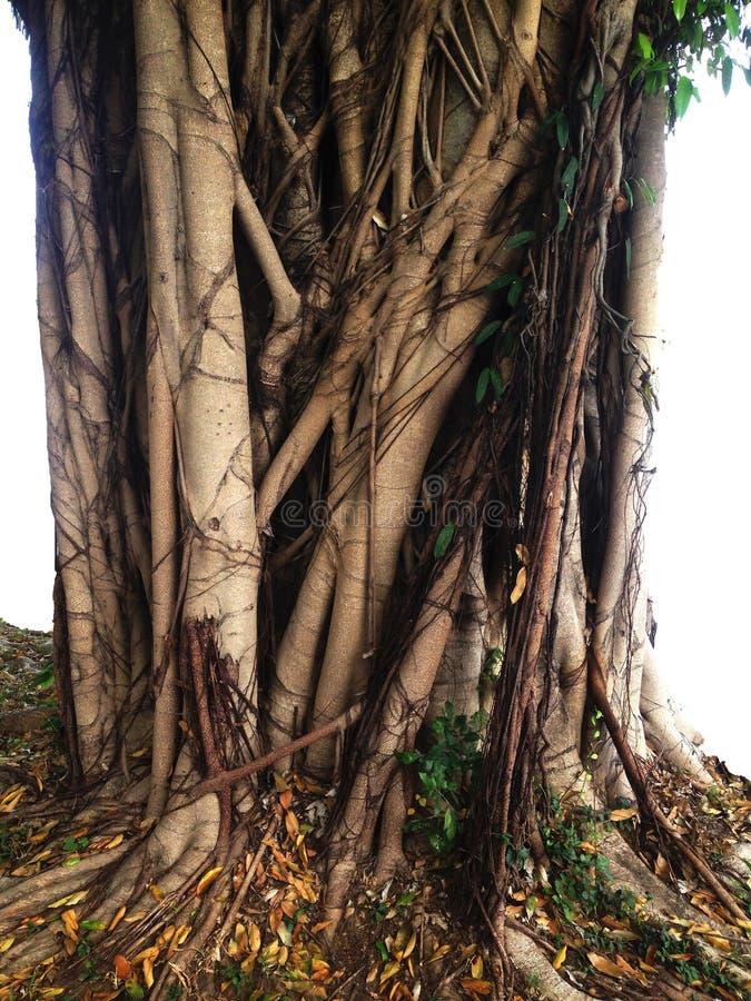 Ficus annulata korzenia drzewna roślina zdjęcia royalty free