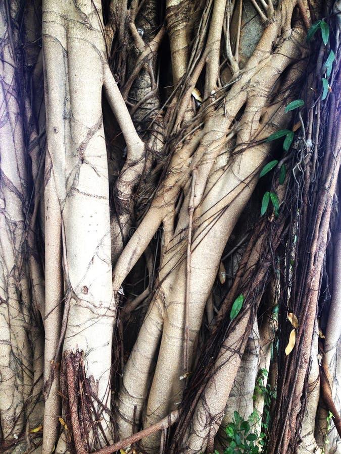 Ficus annulata korzenia drzewna roślina obrazy royalty free