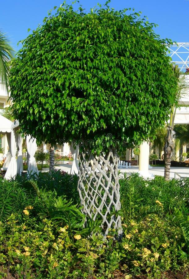 Ficus-Baum lizenzfreie stockfotos
