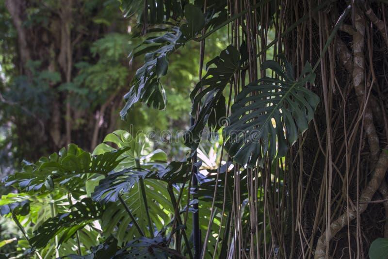 Ficus benghalensis, the Indian Banyan tree