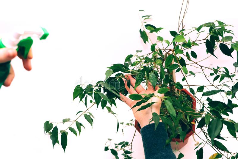 Ficus benjamin. Care for ficus at home. House plant, flower stock images
