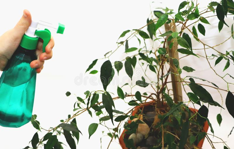 Ficus benjamin. Care for ficus at home. House plant, flower stock photo