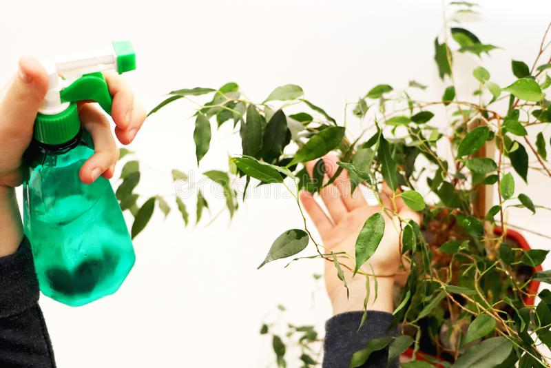 Ficus benjamin. Care for ficus at home. House plant, flower stock photography