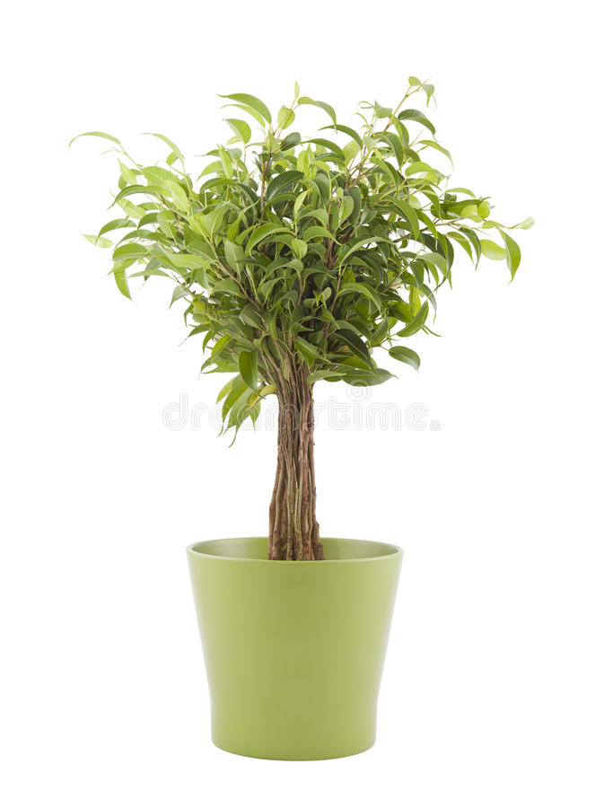 Ficus Benjamin Dans Le Bac Vert Photo libre de droits
