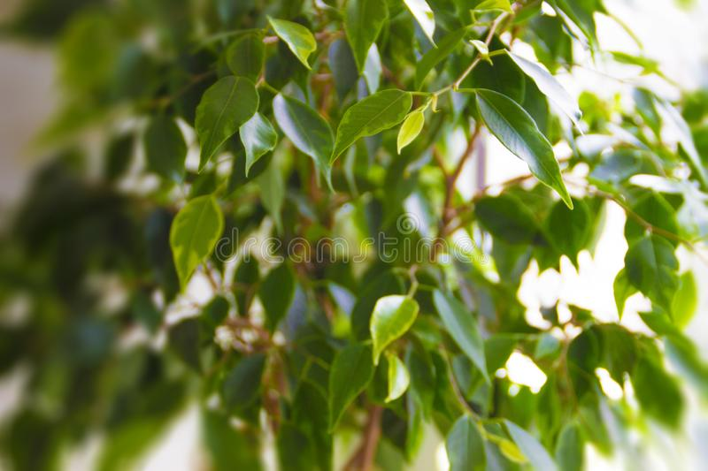 Green plants with oval leaves on a white background stock photo