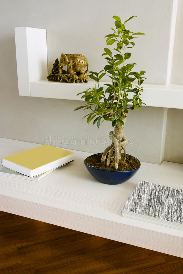 Ficus benjamina bonsai on the white shelves