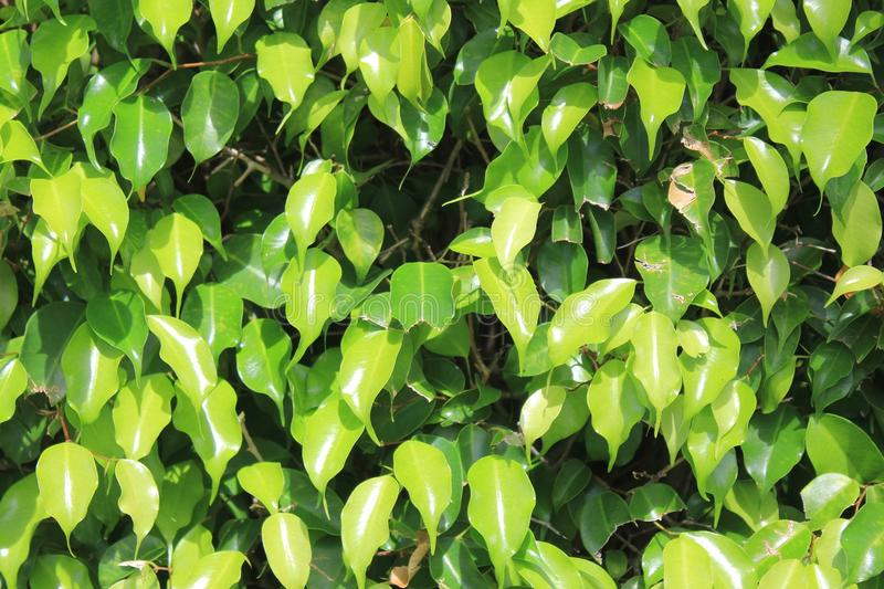 Ficus Benjamina royalty free stock photos