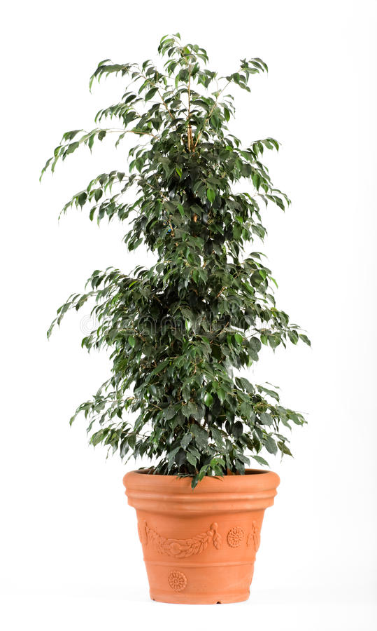 Ficus Benjamina Danielle Plant na luz - potenciômetro marrom fotos de stock royalty free