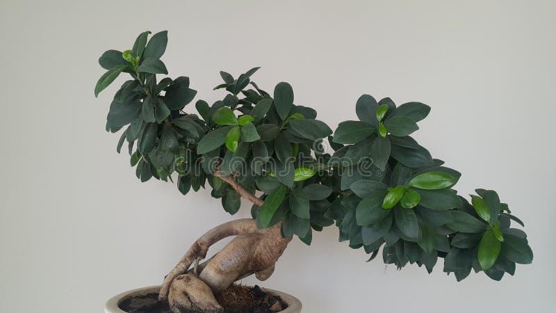 Ficus Benjamina de bonsaïs photo stock