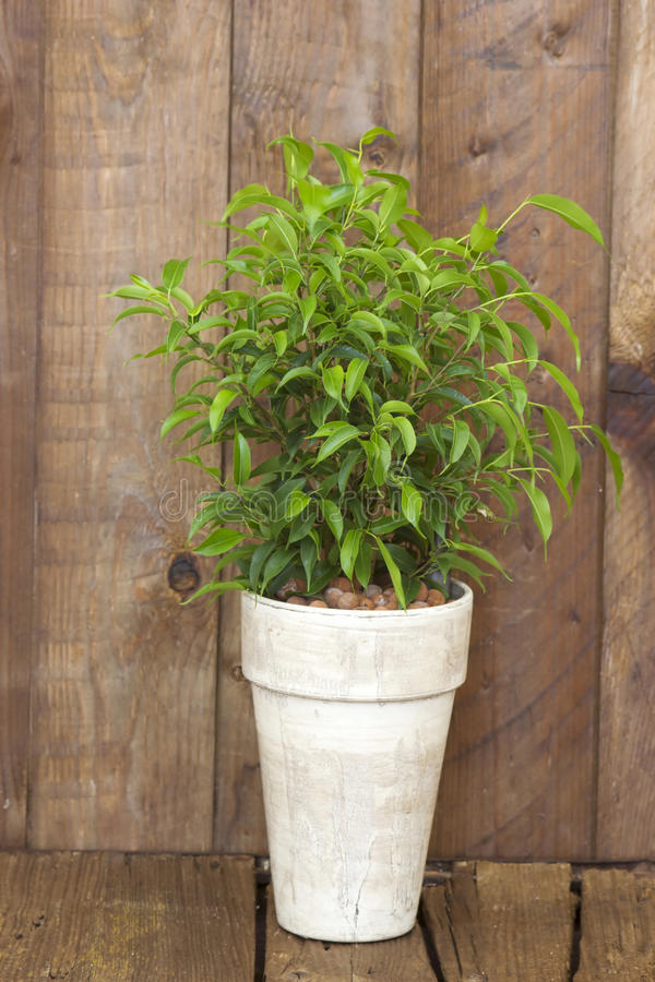 Ficus benjamina in a flower pot stock photos
