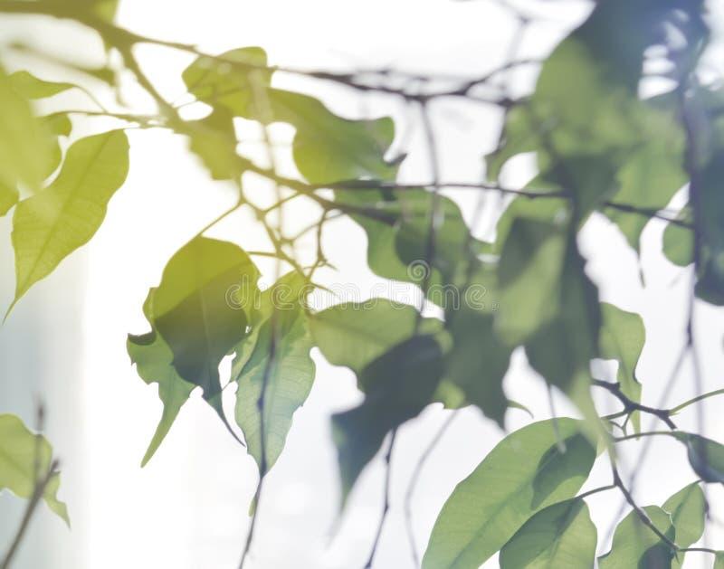 Ficus benjamina flower. Potted plant casting shadows. Ficus benjamina stock photos