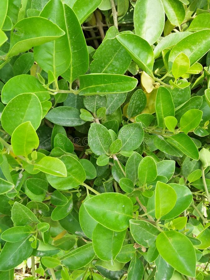 FICUS BENJAMINA MENIQUE. A GOOD EXAMPLE OF A HEDGE HAS THE ROOTS THAT INVADE WATER LINES, OR LIFT THE PAYMENT .IN AREAS WHICH ARE PRONES TO HURRICANS,THIS FIG IS royalty free stock image
