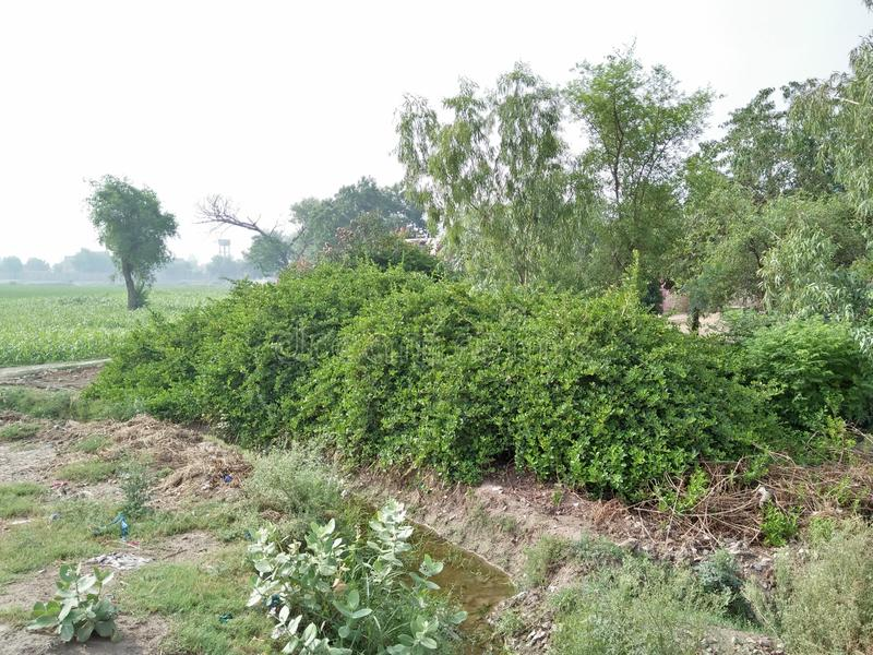 FICUS BENJAMINA MENIQUE. A GOOD EXAMPLE OF A HEDGE HAS THE ROOTS THAT INVADE WATER LINES, OR LIFT THE PAYMENT .IN AREAS WHICH ARE PRONES TO HURRICANS,THIS FIG IS royalty free stock images