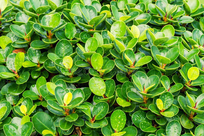 Ficus benjamina tree royalty free stock photography
